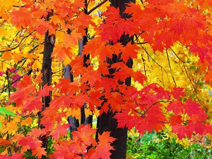 А между кленами синеют то там, то здесь в листве сквозной просветы в небо, что оконца...