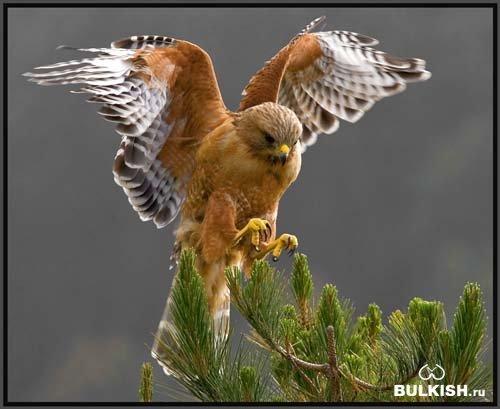 Прекрасная и гордая птица ястреб!