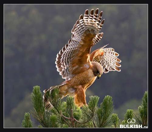 У ацтеков ястреб - посланец богов, в иранской мифологии - символ света...