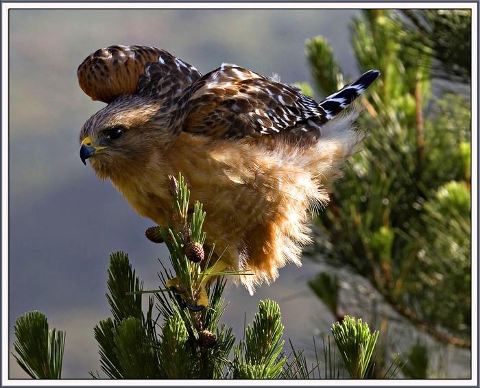 Живут ястребы в основном в лесных или кустарниковых массивах, в горных и лесных территориях