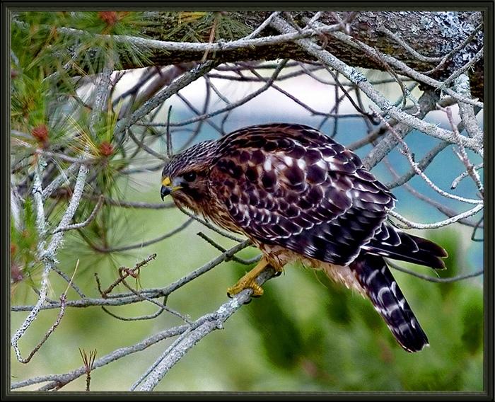 В основном ястребы питаются мелкими птицами и млекопитающими